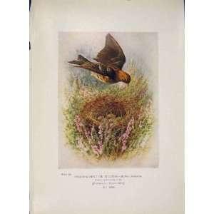 Meadow Pipit Titlark Bird Egg Colour Antique Old Print