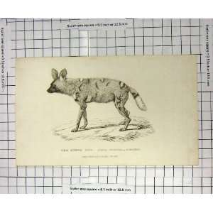 1825 HYAENA VENATICA BURCHELL WILD ANIMAL OLD PRINT