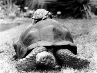 Tank the Giant Tortoise, London Zoo, 180 Kilos, 80 Years Old, on Top