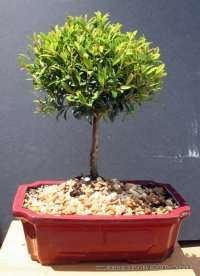 White Flowering Brush Cherry Bonsai Tree  Small